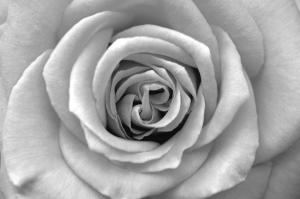 Sensual - black-and-white flower