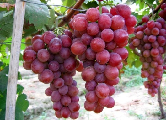 clusters-of-the-vine-2