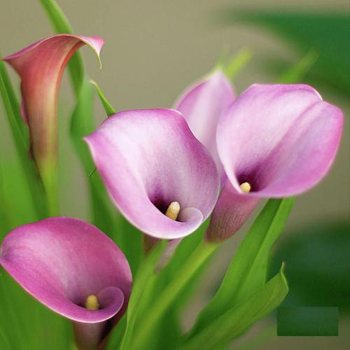 Pink calla Lily.jpg