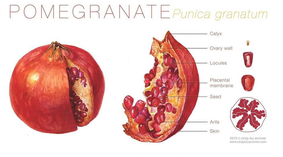 Pomegranate anatomy 3