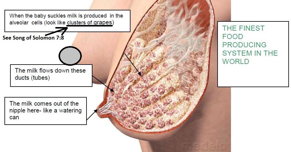 Breast-Milk-Production