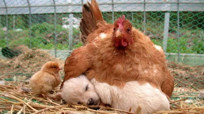 Mother hen and puppy