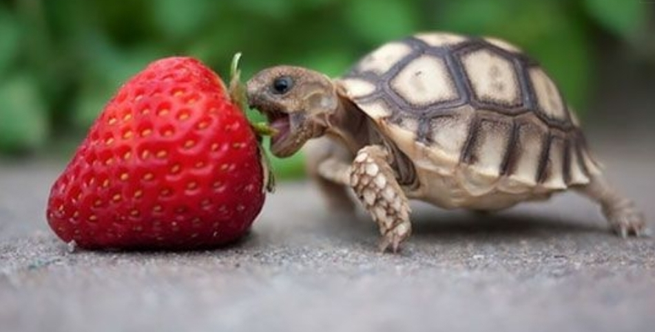 Turtle latching onto strawberry